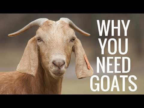 Why Goats Are The Best Homestead Animal