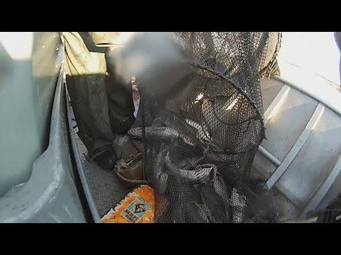 Kansas Walleye Broodfish Collection
