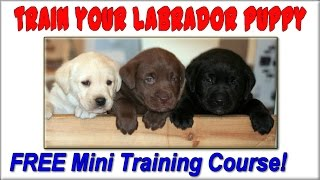 ♥ ♥ ♥ How To Train A Labrador Puppy ☼ Start Now ☼ How To Train Labrador Retrievers :))))