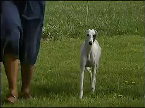 Whippet - AKC Dog Breed Series