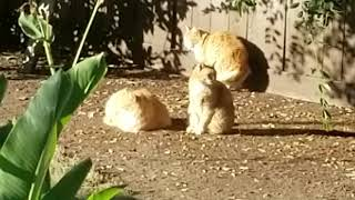 Cutest little ginger cats hanging out together in the morning sunshine (M3FC 0778)