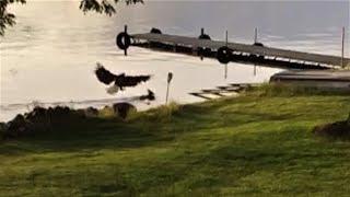 老鷹將小鹿壓制於水中「活活淹死」《國家地理》雜誌