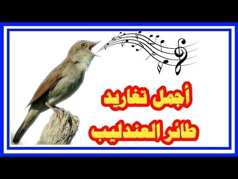 تغريد طائر العندليب( الحسنية ) صالح لتلقين  chant de rossignol thumbnail