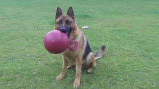 German Shepherd Monty At A & B Dogs Boarding & Training Kennels.