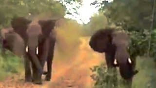 2 Angry Elephants Unexpectedly Charge A Vehicle - Latest Wildlife Sightings