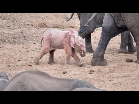 369ff2f7cba Extremely Rare Pink Albino Baby Elephant Spotted by Tourist on Safari