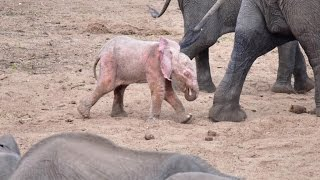 Extremely Rare Pink Albino Baby Elephant Spotted by Tourist on Safari