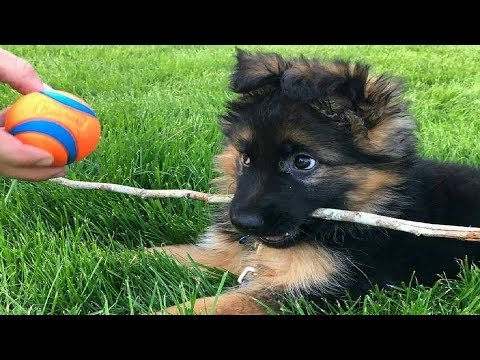 Funniest & Cutest German Shepherd Videos - Interesting Dog Facts