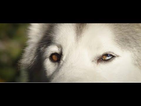 Wolfgang Man & Beast X Loki The Wolfdog