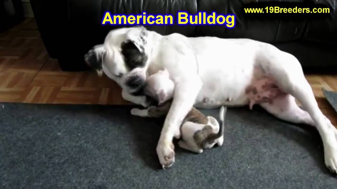 american bulldog, puppies, dogs, for sale, in saint louis, county