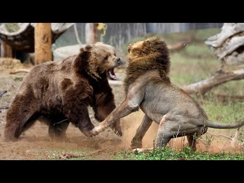 Лев VS Бурый медведь . Как думаете, кто кого?
