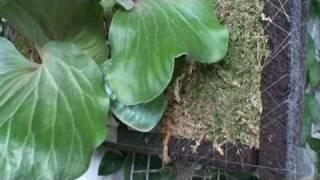 象耳鹿角蕨Platycerium elephantotis
