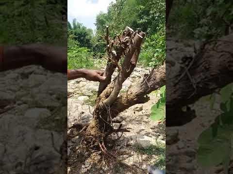 Berburu Bakalan Bonsai Arabica(klampis Ireng)