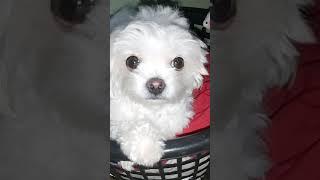 CUTE DOG (SHIHTZU, MALTESE)