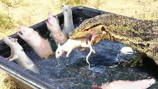 トイレトレーニングもバッチリさ!ミズオオトカゲの日常的風景を見てみよう(捕食時若干閲覧注意)
