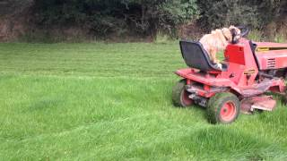 Paddy Dog In Training For Grass Cutting