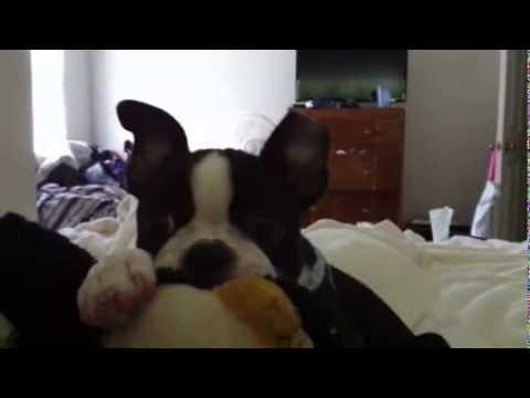 nyla-the-boston-terrier-chews-on-her-stuffed-animal