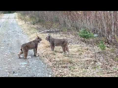CAUGHT ON CAMERA: Lynx stare down over territory