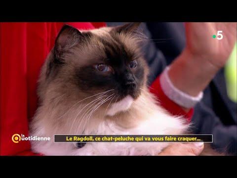 Le Ragdoll, Ce Chat-peluche Qui Va Vous Faire Craquer... La Quotidienne