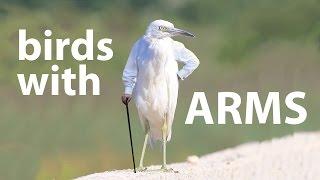鳥たちの面白動画に腕をつけてみた。割とマジで「あり」だった。