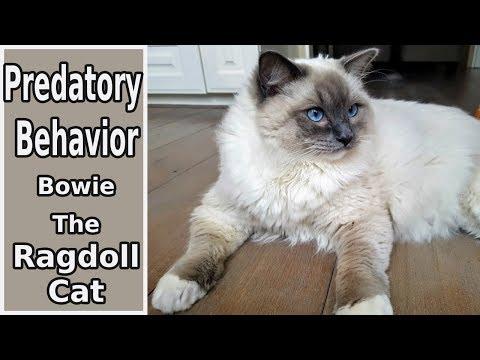 Predatory Behavior | Bowie The Ragdoll Cat