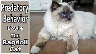 Predatory Behavior | Bowie The Ragdoll Cat