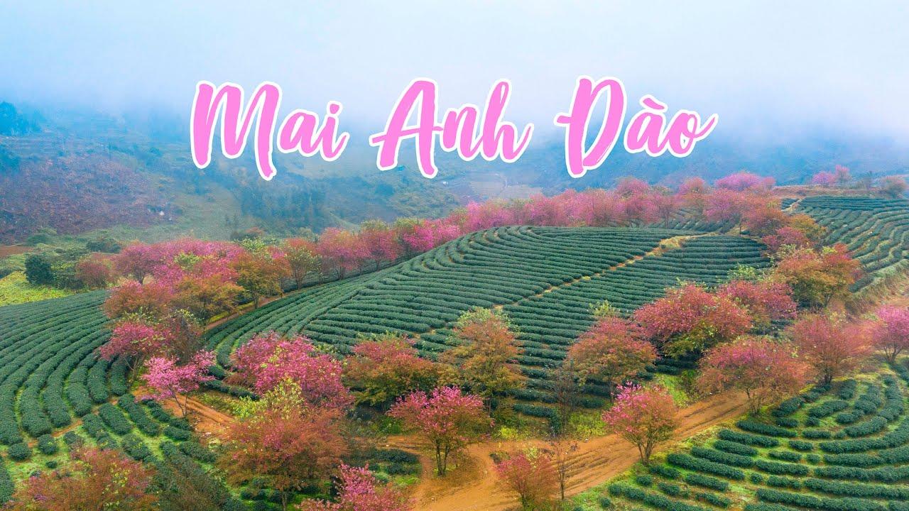 Vườn Mai Anh Đào đẹp nhất Việt Nam đóng cửa. Lý do của ban quản lý đồi chè Ô Quy Hồ Sapa là gì?