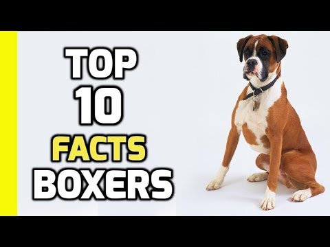 Top 10 facts about Boxer Dogs (Boxer Dog Breed Information)