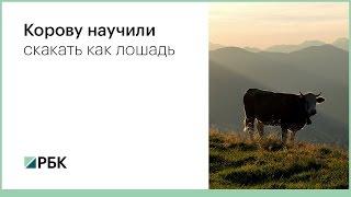 Корову научили скакать как лошадь
