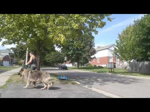 Working a dog aggressive Dog: baby steps