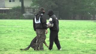 Danger Von Juliet 2013 Gsdca-wda Nationals-protection