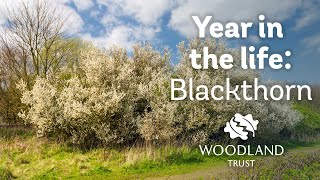 Video A Year in the Life of a Blackthorn Tree download MP3, 3GP, MP4, WEBM, AVI, FLV November 2017