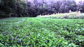Frost Seeding Clover & Chicory