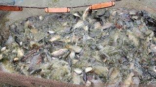 Amazing Net Fishing | Fishermen Catching Huge Tilapia Fish From a Pond