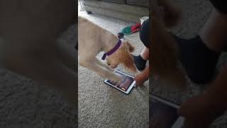 My Dog Playing A Game On The iPad