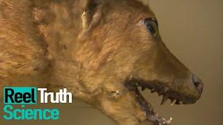 Tasmanian Tiger Terror | Wild Case Files | Mystery Documentary | Reel Truth #Science