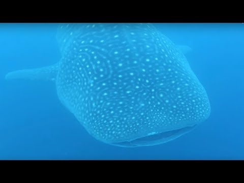 Massive whale shark swims directly under surprised scuba diver