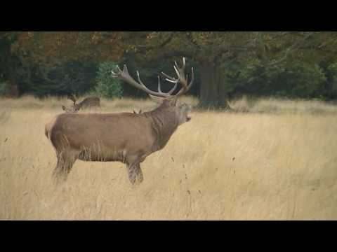 Red Deer Stag Roaring at Richmond Park on 17th September 2016