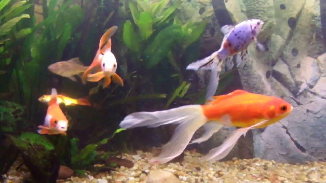 My goldfish and shubunkin tank youtube for Shubunkin fische