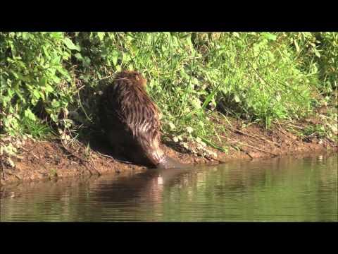Wild Beaver Babies