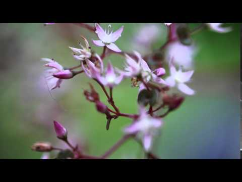Pink Flowering Succulant