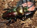 Rainbow Stag Beetle - Phalacrognathus muelerri