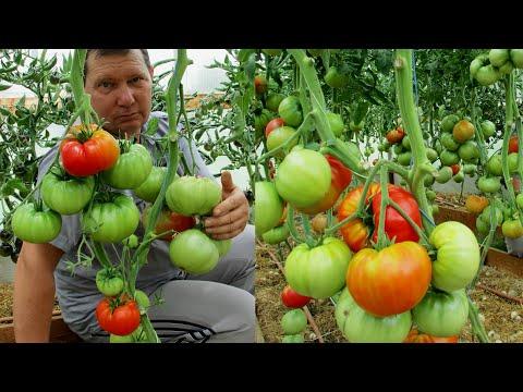Нельзя упускать начало формирования томатов