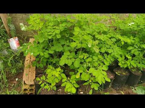 Mudas de Moringa Oleifera - Tutor Vivo para pitaya