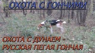 Охота с Русской пегой гончей