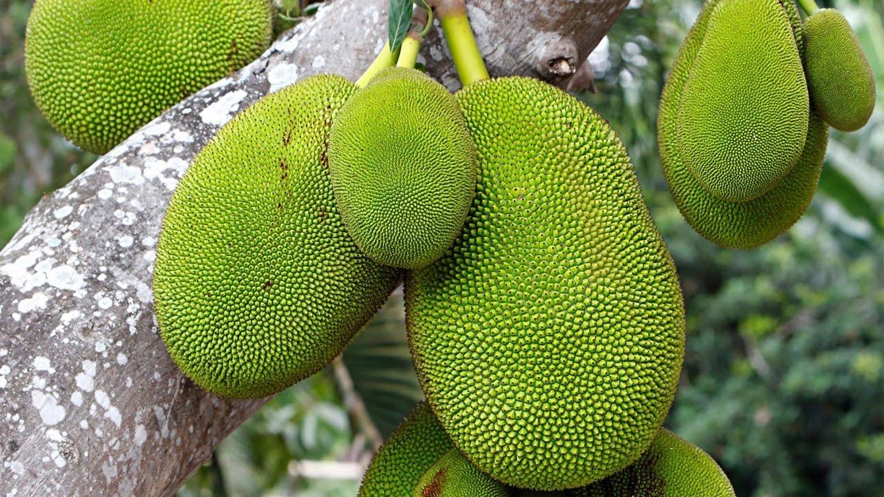 Miracle Fruit? 10 Amazing Health Benefits of Jackfruit