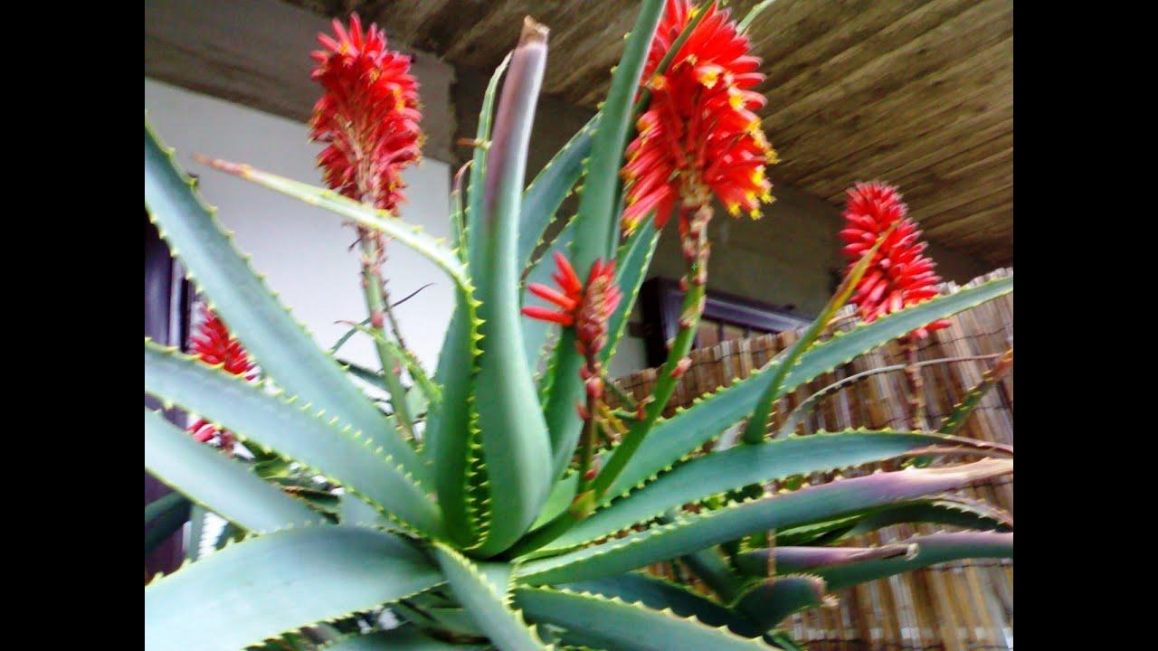 Как цветет алоэ, 12 фото - ПроЦветы 2