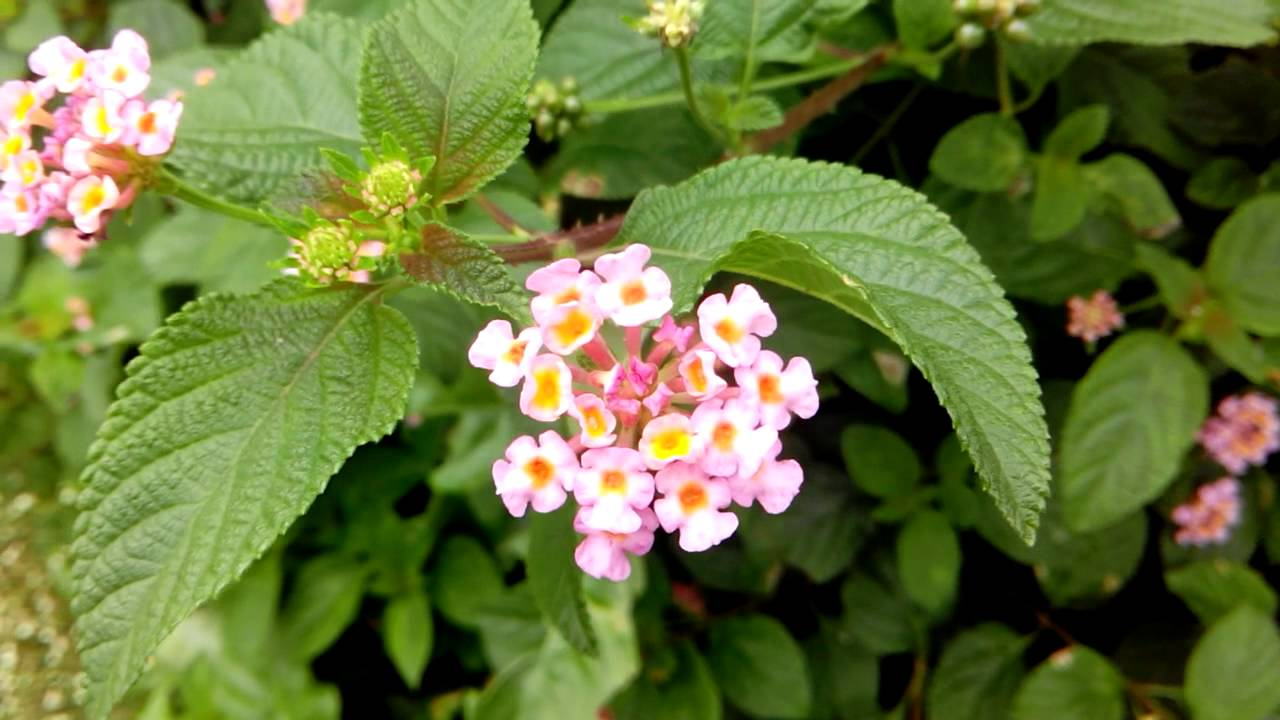 Beautiful flowers of india pink flowers clusters lantana camara beautiful flowers of india pink flowers clusters lantana camara in puravipalayam youtube izmirmasajfo