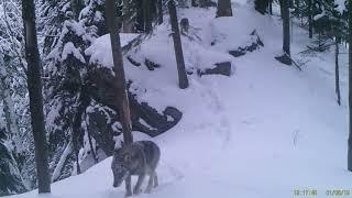 Haita de lupi la atac langa Teregova