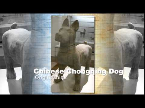 Chinese Chongqing Dog Breed
